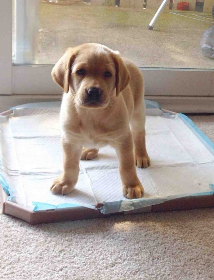 Best Puppy Potty Training Pads Review